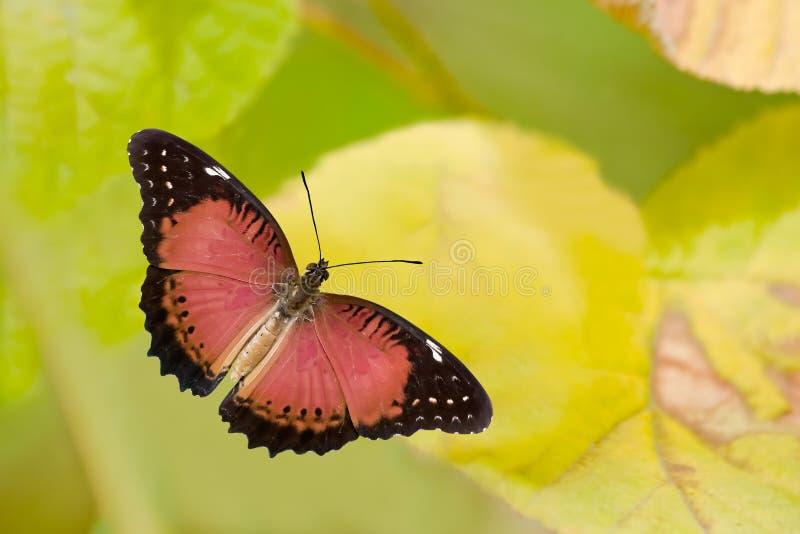 lacewing red för fjäril arkivbild