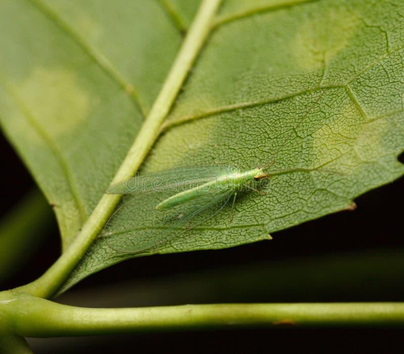 Lacewing verde foto de archivo libre de regalías
