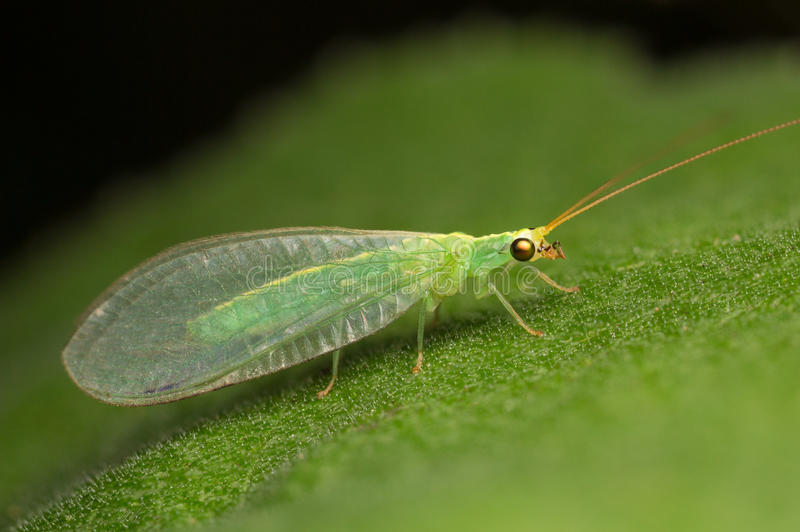 Lacewing vert photographie stock