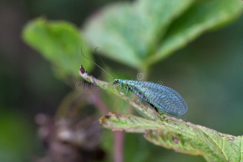 lacewings 免版税库存照片