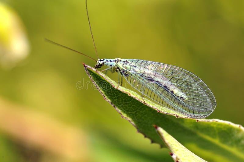 lacewings liść zdjęcia stock