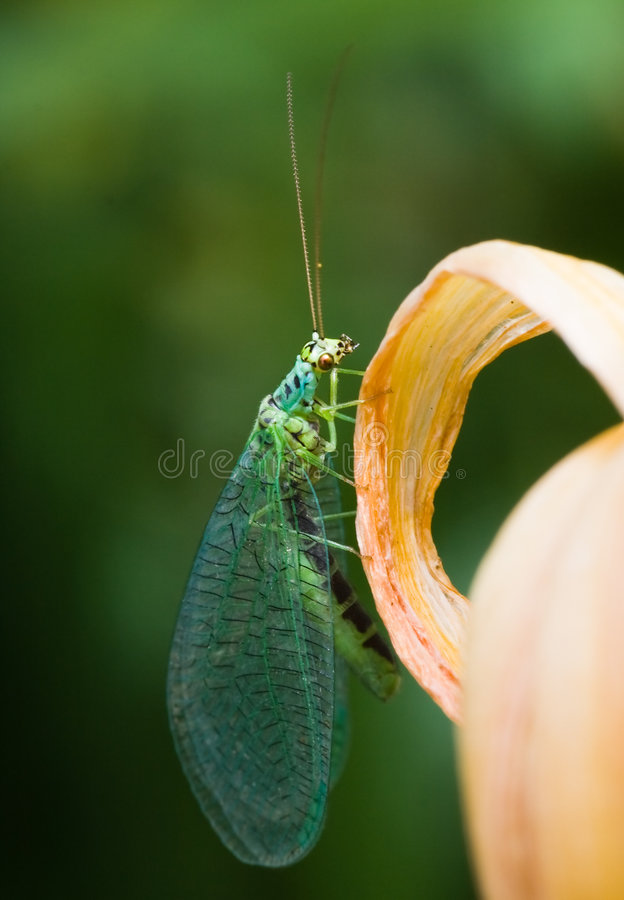 Download Lacewings Resting Royalty Free Stock Photography - Image: 7493827