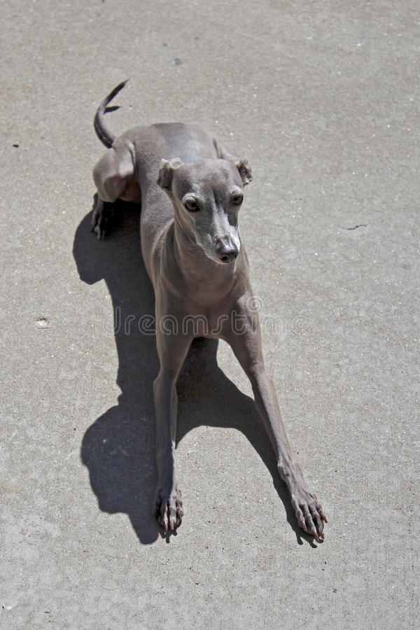 Lacey de Miniatuurwindhond stock afbeelding