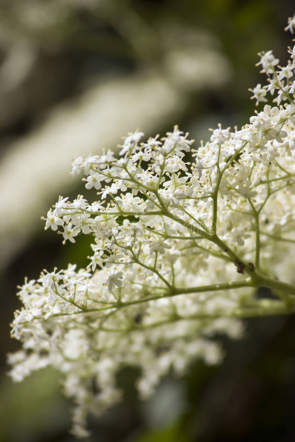 Free Lacey Elderberry Stock Photo - 2741300