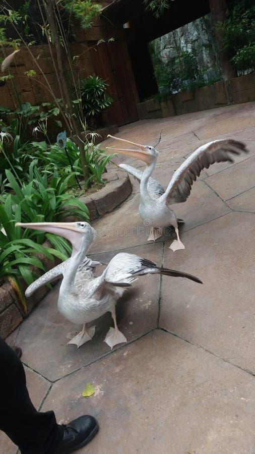 Lachende Gansvögel der Ente lizenzfreie stockfotos