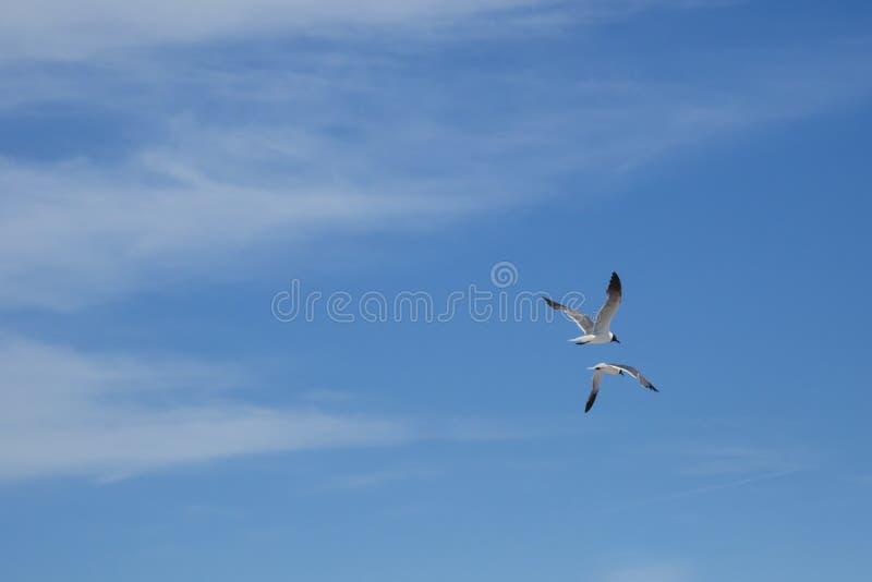 Lachende Seemöwen, die weg durch bewölkten blauen Himmel fliegen lizenzfreie stockbilder
