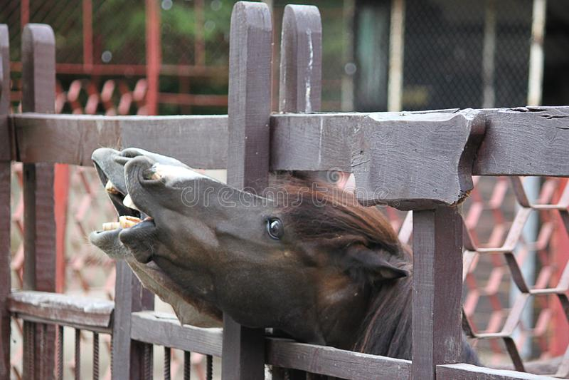 Lachender Esel und Pferd - lustiger Esel mit Pferd mit offenen mouthes stockfotos