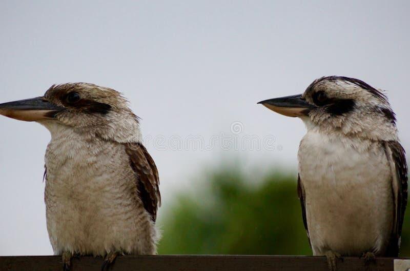 Lachender Hans-Vögel lachend, brünieren Sie Eisvogelvögel stockfoto