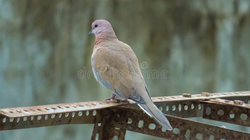 Lachender Taubenvogel in Indore-Indien stockbild