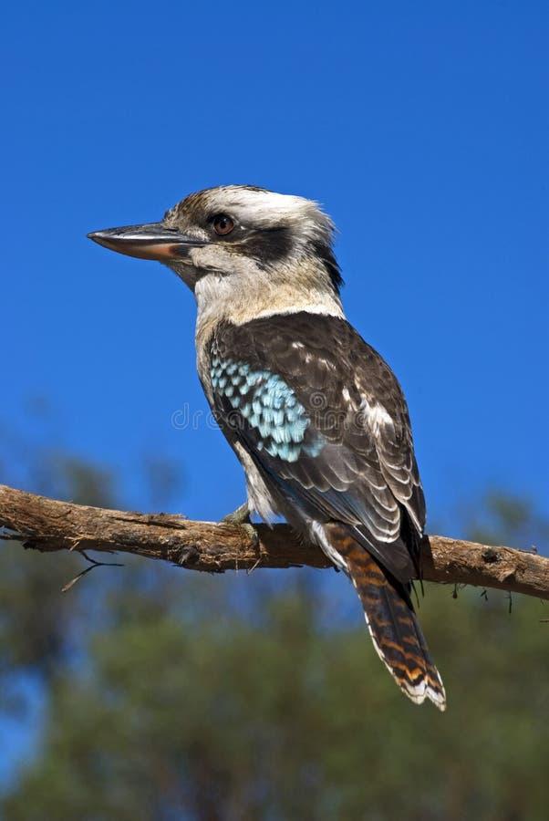 Lachendes Kookaburra stockbild