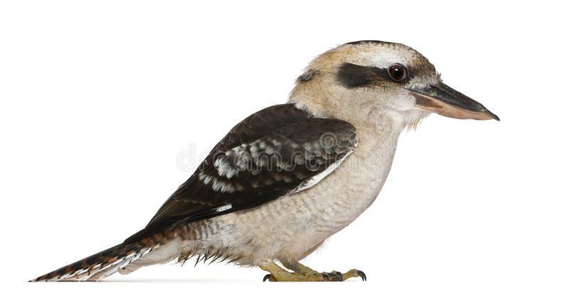 Lachendes Kookaburra stockfotos