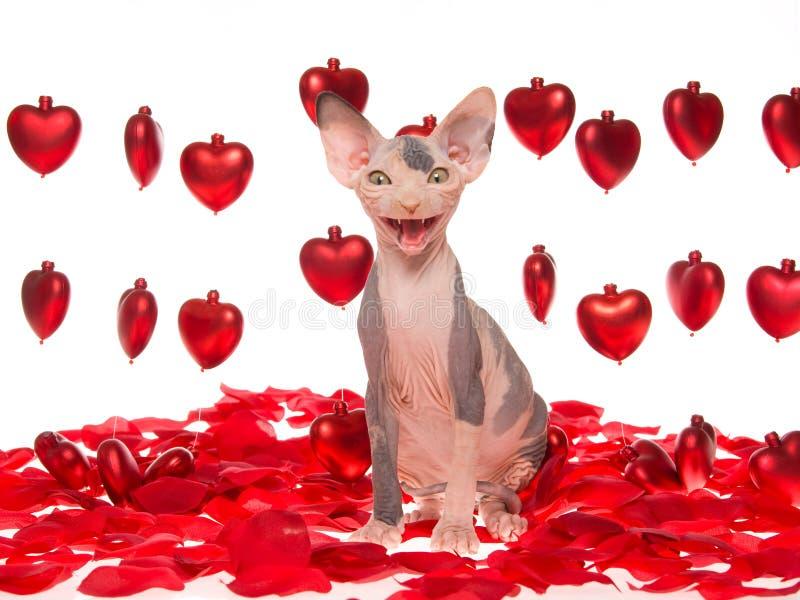 Lachendes unbehaartes Sphynx Kätzchen mit roten Inneren stockbilder