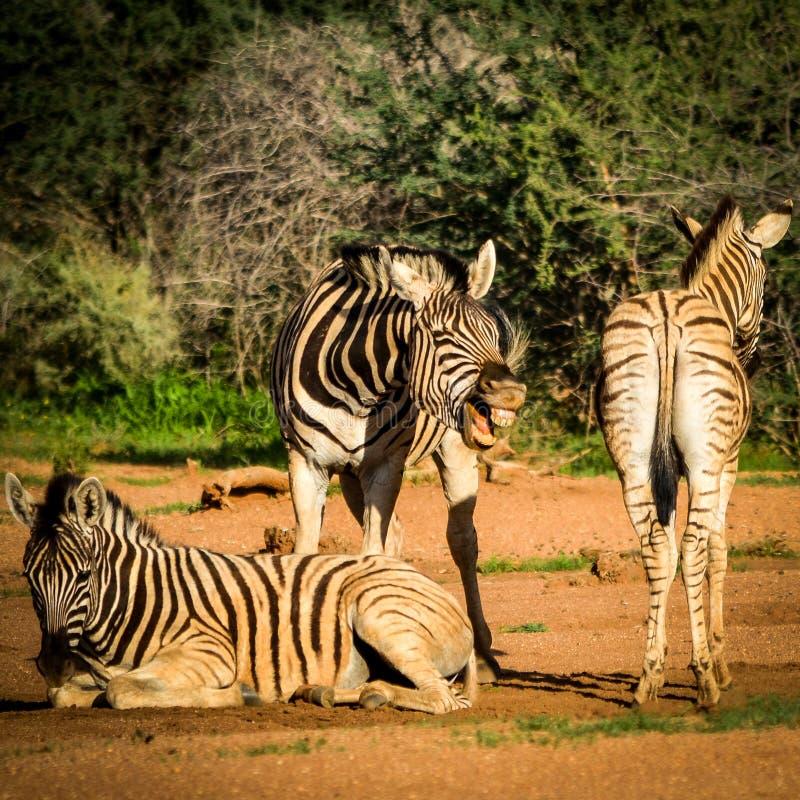 Lachendes Zebra stockbild