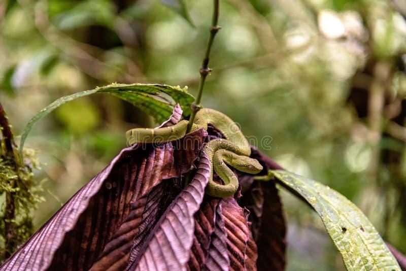Lachesis jamy żmija w dżungli zdjęcia royalty free
