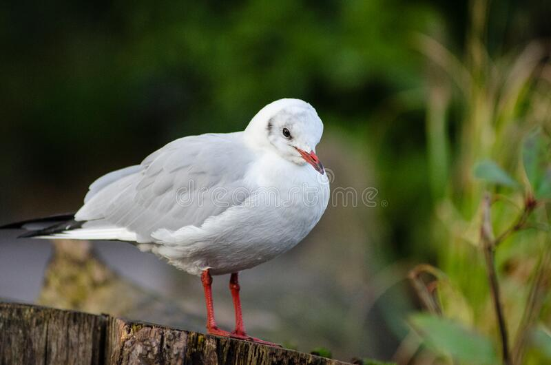 Lachmöwe ( Winter plumage) lizenzfreies stockfoto