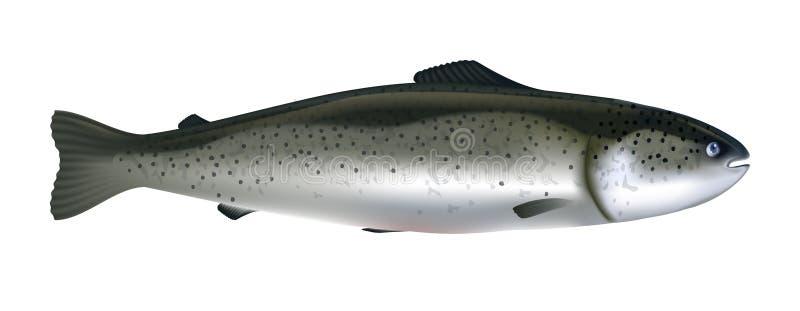 Lachs-Fisch realistische Vektorgrafik Lachs, ganz isoliert auf weißem Grund lizenzfreie abbildung