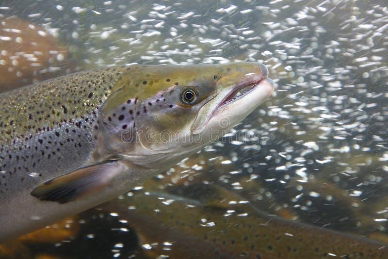 Lachsfische im Wasser, Nahaufnahme lizenzfreie stockfotos