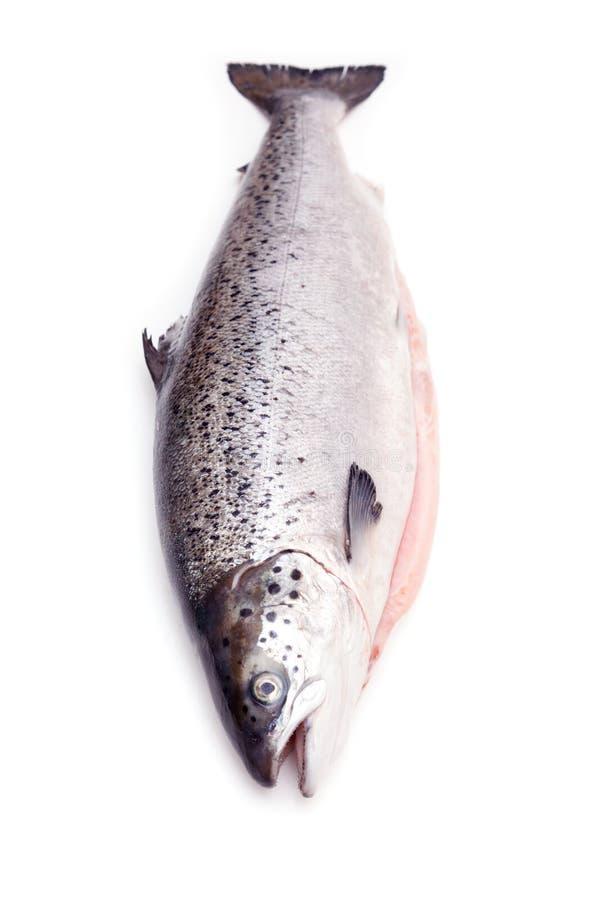Lachsfische lokalisierten auf einem weißen Studiohintergrund lizenzfreies stockbild