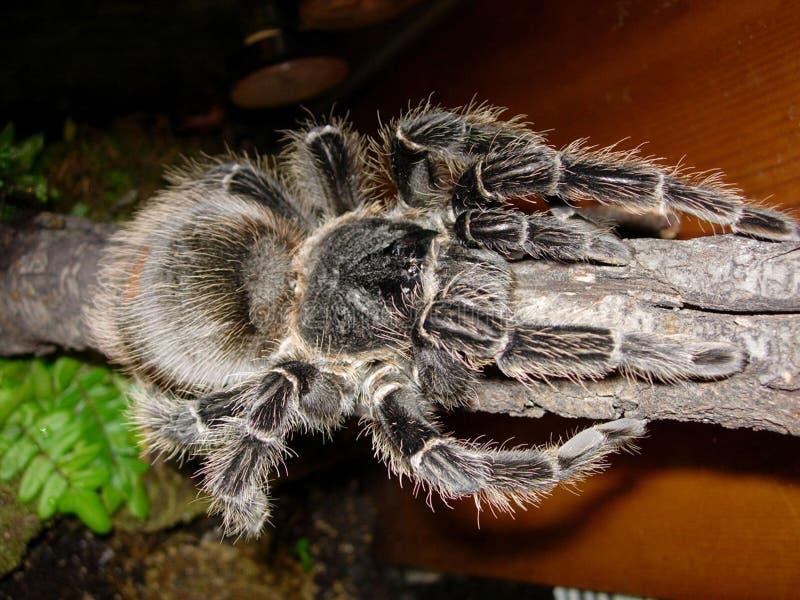 Lachsrosa Birdeater Tarantula stockbilder