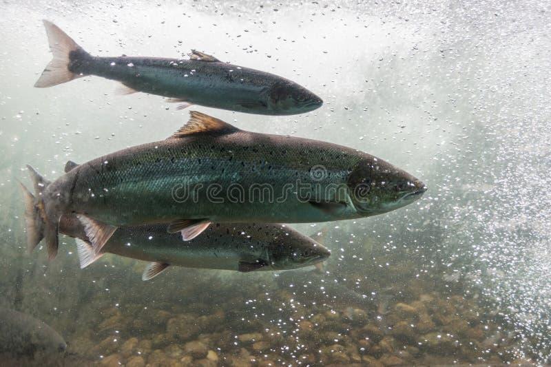 Lachsschwimmen gegen Flussstrom Region Norwegens, Stavanger, Rogaland, szenischer Weg Ryfylke lizenzfreies stockfoto
