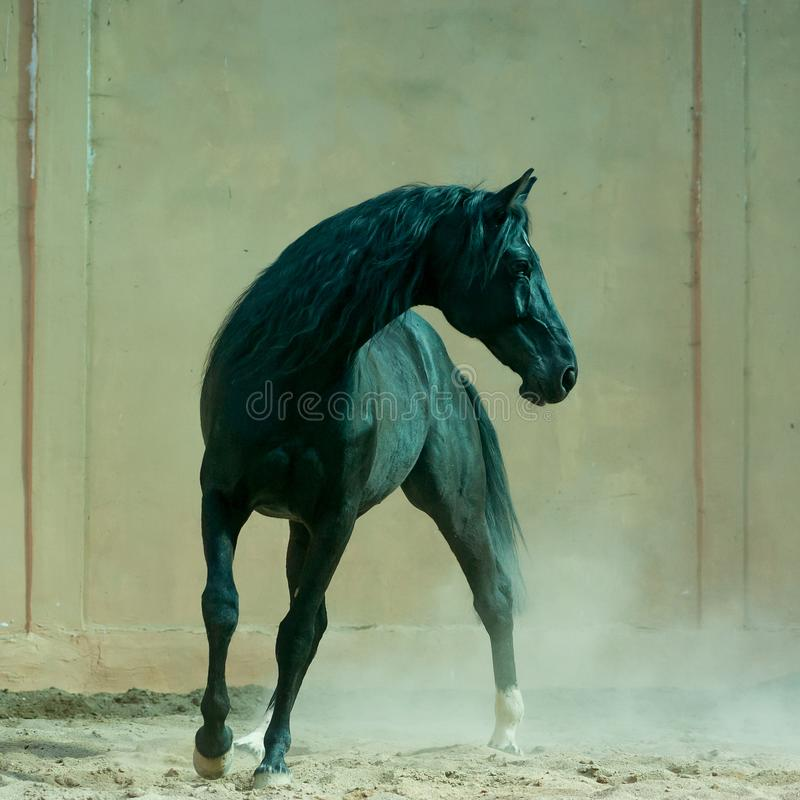 Black horse in the indoors arena. The Black horse in the indoors arena stock images