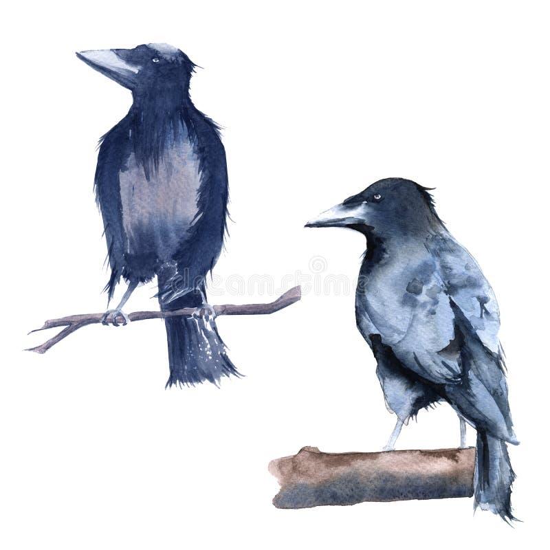 Lack Raven. Isolated on white background. royalty free illustration