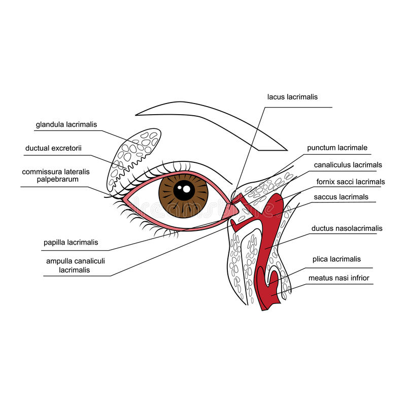 Lacrimal apparatur royaltyfri illustrationer