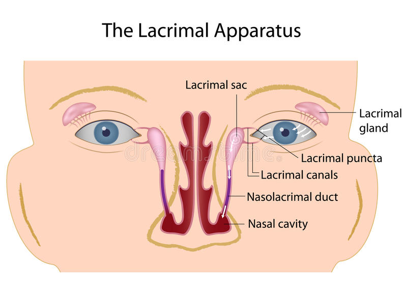 The lacrimal apparatus. The lacrimal gland and other structure of tear producing organ, eps10 vector illustration