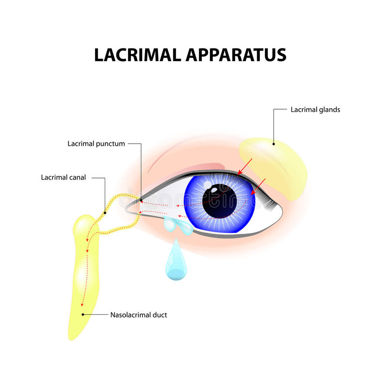 Lacrimal Apparatus. Anatomy of lacrimation. secretion of tears, which serves to clean and lubricate the eyes royalty free illustration