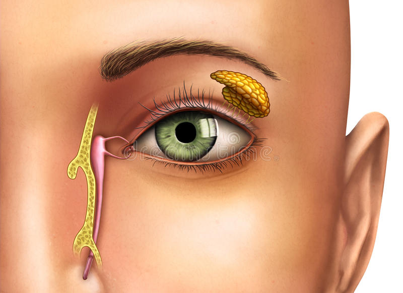 Lacrimal glands. Anatomy drawing showing the functioning of lacrimal glands. Digital illustration royalty free illustration