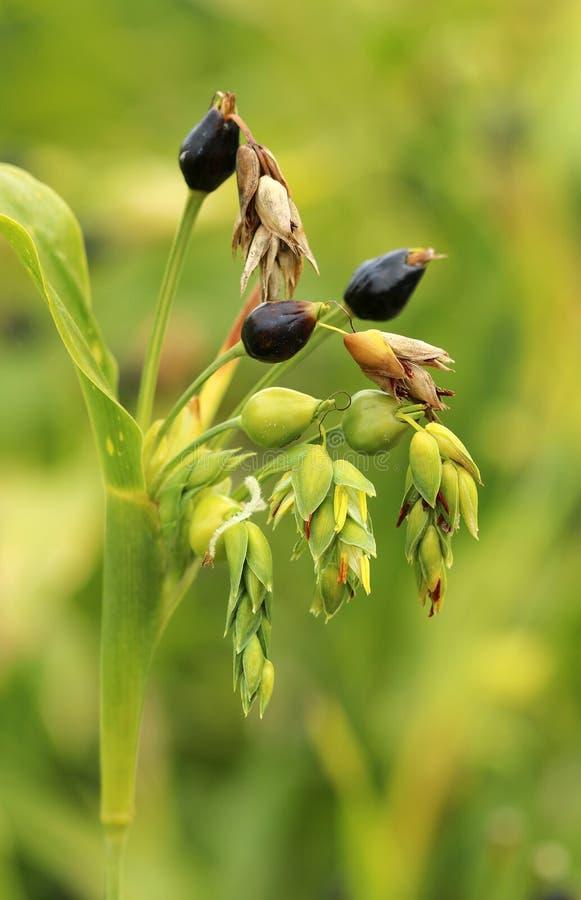 Lacryma curativo di Coix del cereale fotografie stock libere da diritti