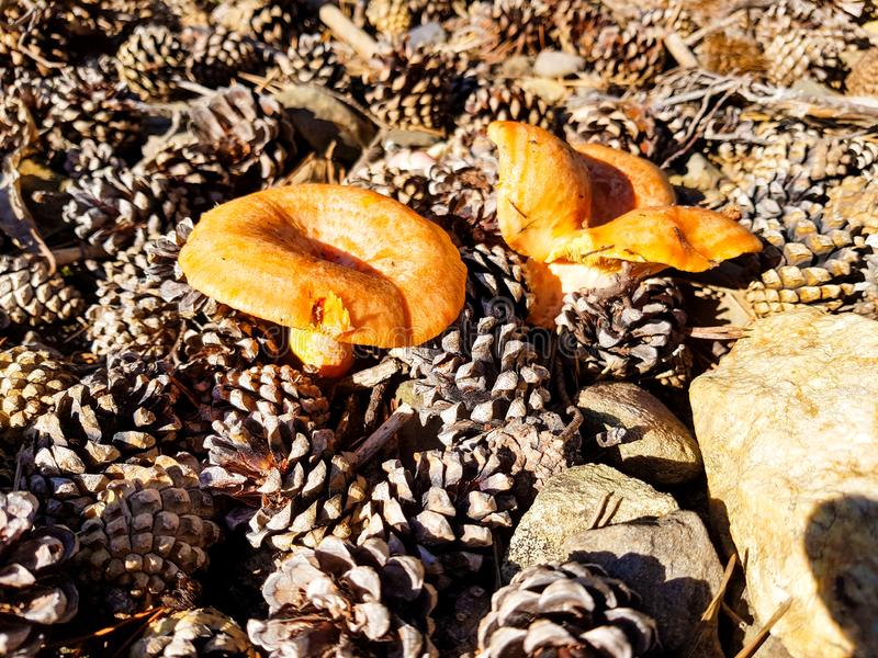 lactarius deliciosus, edible and delicious mushrooms of marked orange color surrounded by leaves and piles of pine stock images