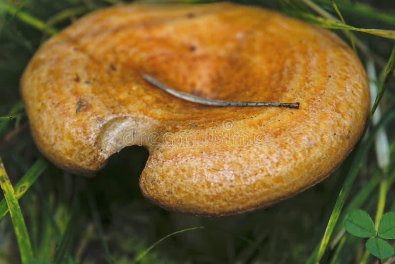 Lactarius deliciosus - edible mushroom. Fungus in the natural environment. English: saffron milk cap, red pine mushroom stock photo