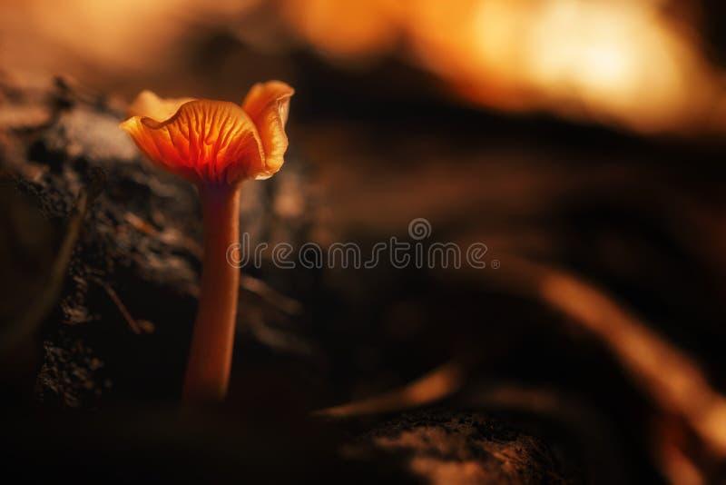 Lactarius deliciosus Paddestoelen in het bos royalty-vrije stock foto's