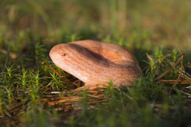 Download Lactarius Delicious Mushroom Stock Photo - Image: 5812940