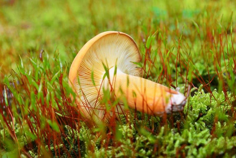 Lactarius volemus mushroom stock photos