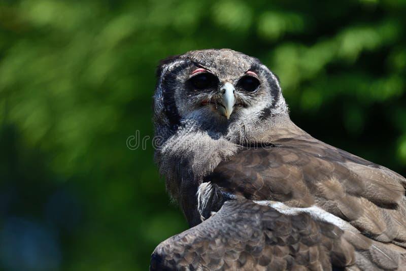 Lacteus van de uilbubo van de Verreaux` s adelaar stock fotografie