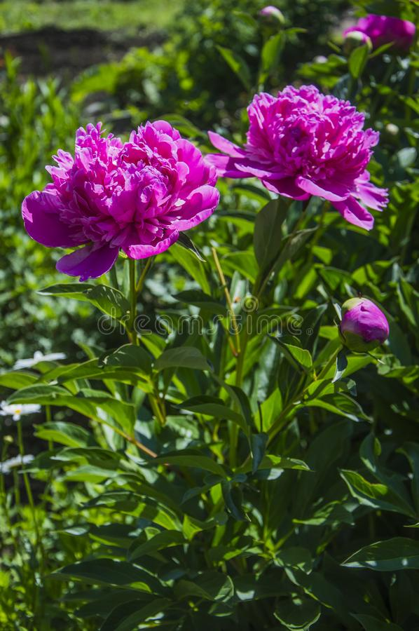 Lactiflora del Paeonia de la flor fotografía de archivo