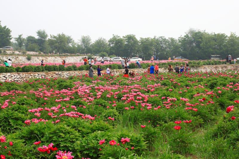 Lactiflora del Paeonia festvial foto de archivo libre de regalías