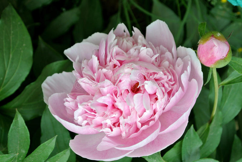 Lactiflora herbacé chinois de fleur-Paeonia de pivoine photographie stock libre de droits
