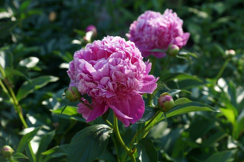 Lactiflora Monsieur Jules Eliedo Paeonia Florda peônia do rosa do dobro de Peônia chinesa do lactiflora do Paeonia ou peôni fotos de stock