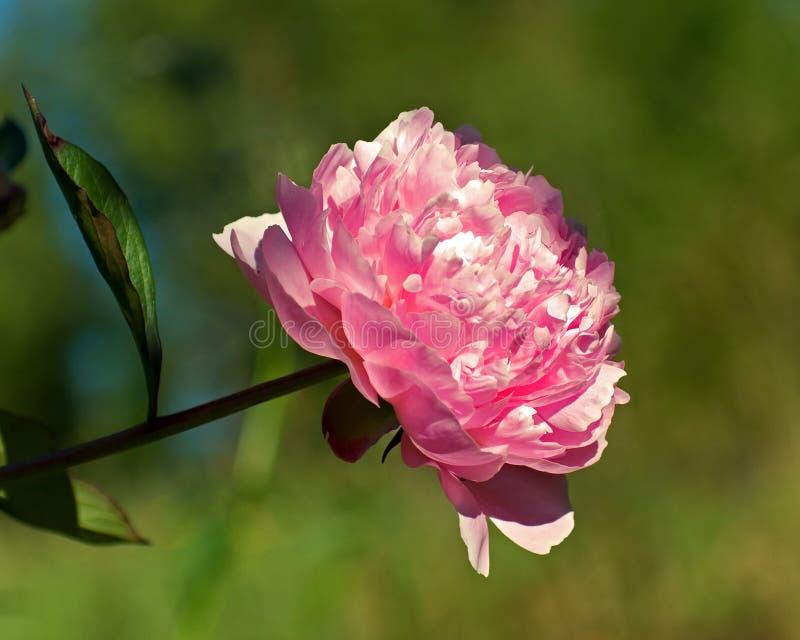 Lactiflora Paeonia, розовый цветок пиона и стержень стоковое фото