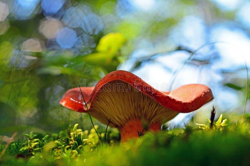 Lactifluus volemus mushroom stock photos