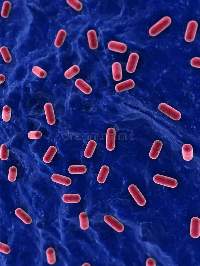 Download Lacto bacillus stock illustration. Illustration of diencephalon - 11954216