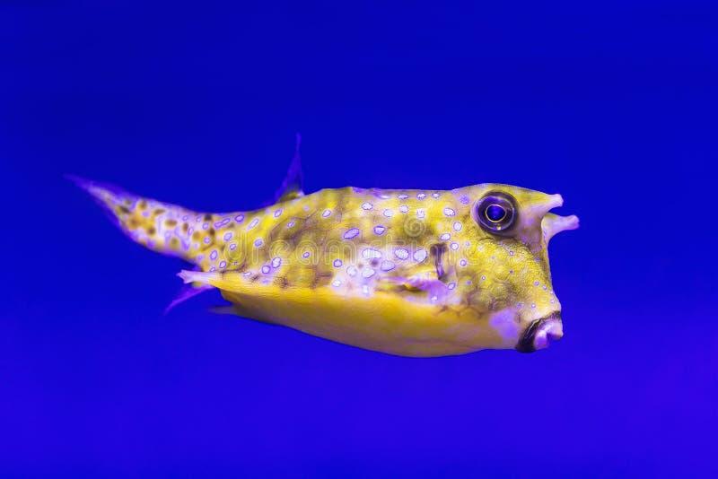 Lactoria cornuta -热带光芒挥动的鱼,共同在印度人,和平和大西洋海洋 库存图片