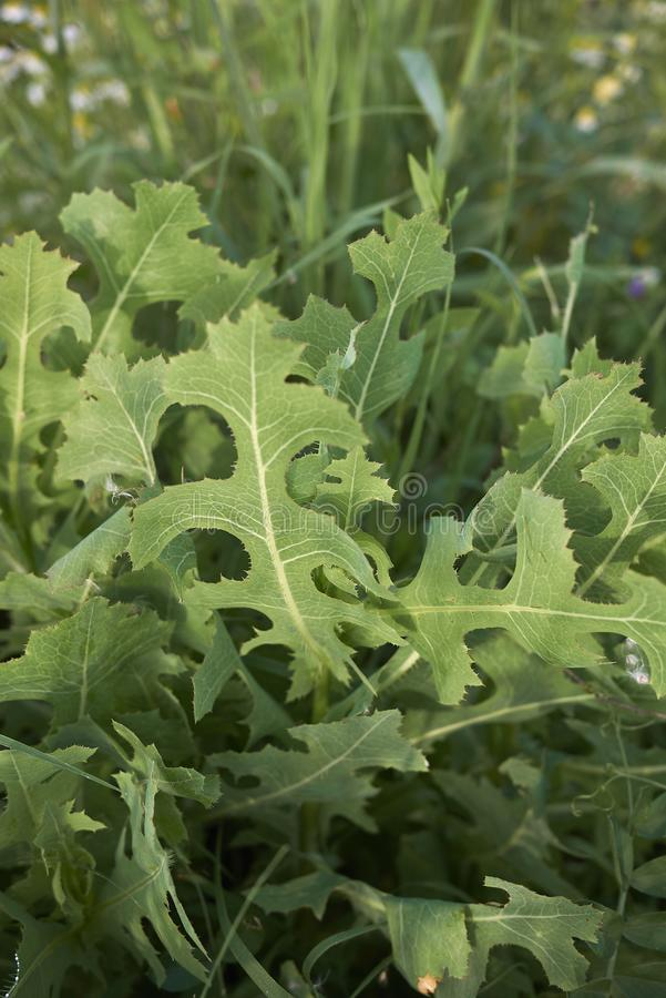 Lactuca serriola plant royalty free stock photography