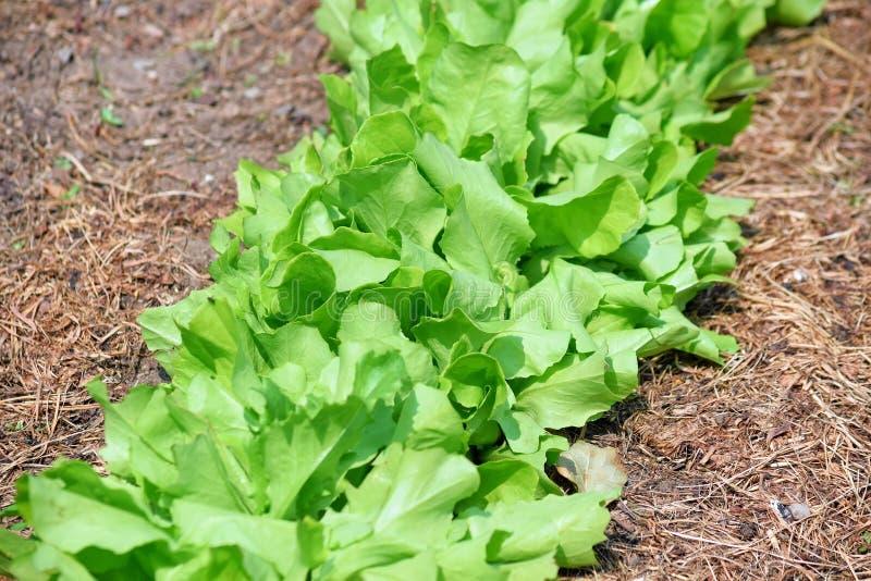 Lactuca Zielonej sałatki sativa Zdrowy jedzenie w rzędu jarosza zapasu fotografii obrazy stock