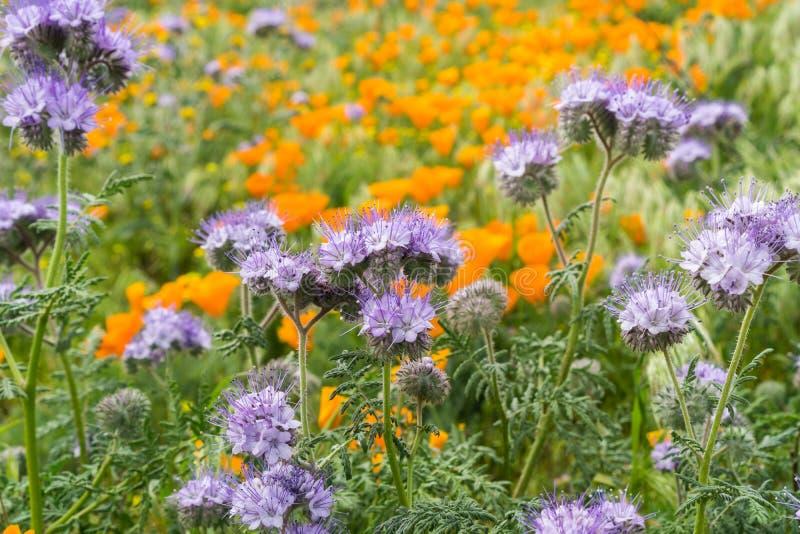 Lacy Phacelia Phacelia cryptantha som blommar bland Kalifornien vallmo arkivfoto