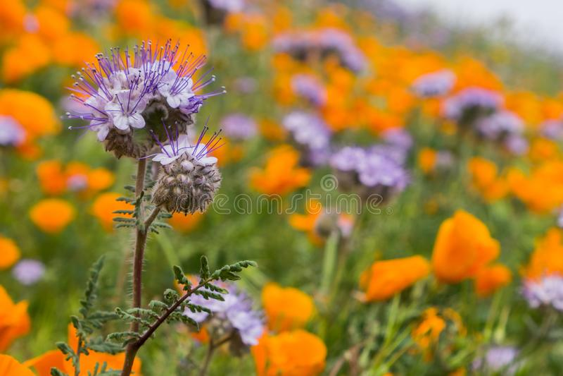 Lacy Phacelia Phacelia cryptantha som blommar bland Kalifornien vallmo fotografering för bildbyråer