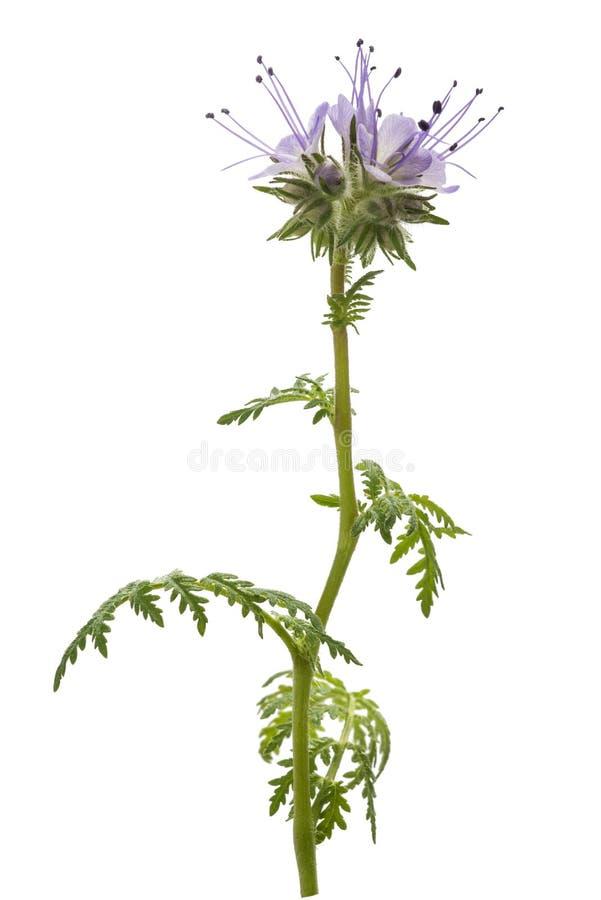 Lacy Phacelia Phacelia-tanacetifolia stockfotografie